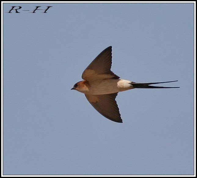 Red-rumped Swallow Cecropis daurica flying