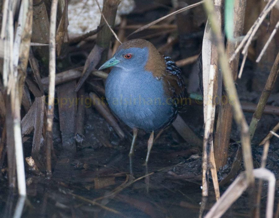 Baillon's Crake standing in water