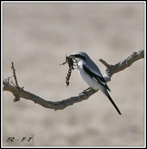 Great Grey Shrike Lanius excubitor lahotra feeding on a big scorpion