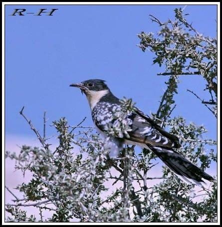 Great Spotted Cuckoo Clamator glandarius on a bush