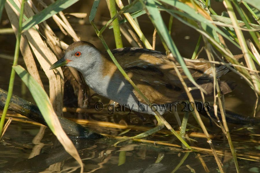 Little Crake Zapornia parva under reeds