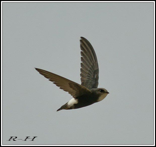Little Swift Apus affinis on flight