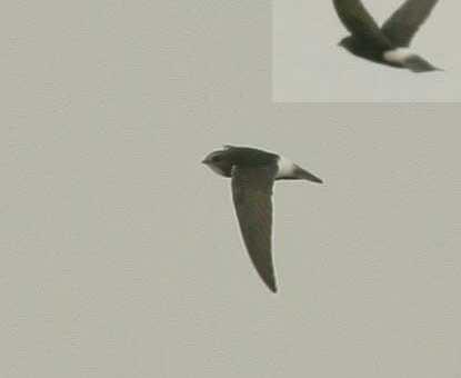 Little Swift Apus affinis on flight