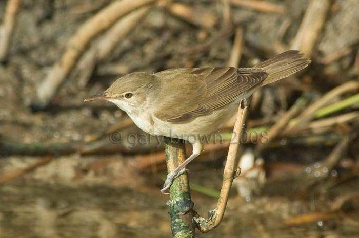 Basra Reed Warbler Acrocephalus griseldis on a branch over water