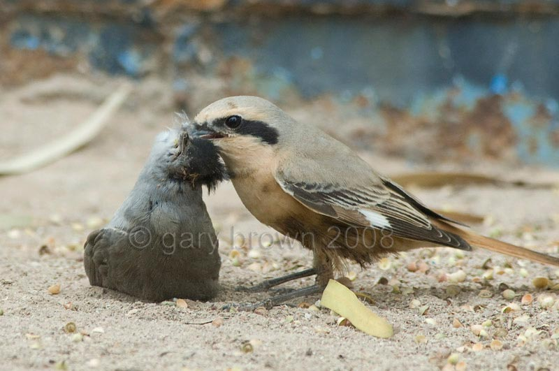 Daurian Shrike Lanius isabellinus feeding on male Blackcap