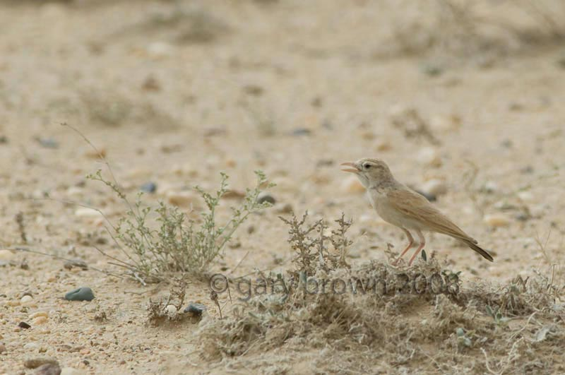 Dunn's Lark Eremalauda dunni on desert ground