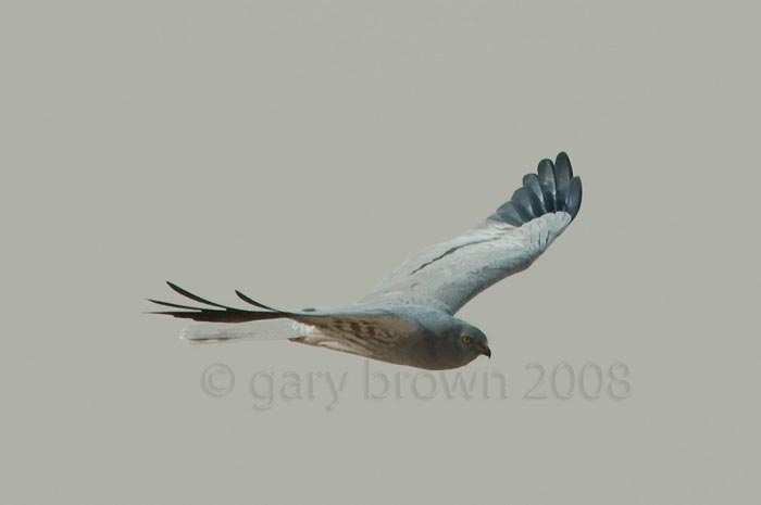 Montagu's Harrier Circus pygargus in flight
