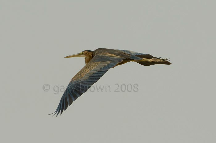 Purple Heron Ardea purpurea in flight