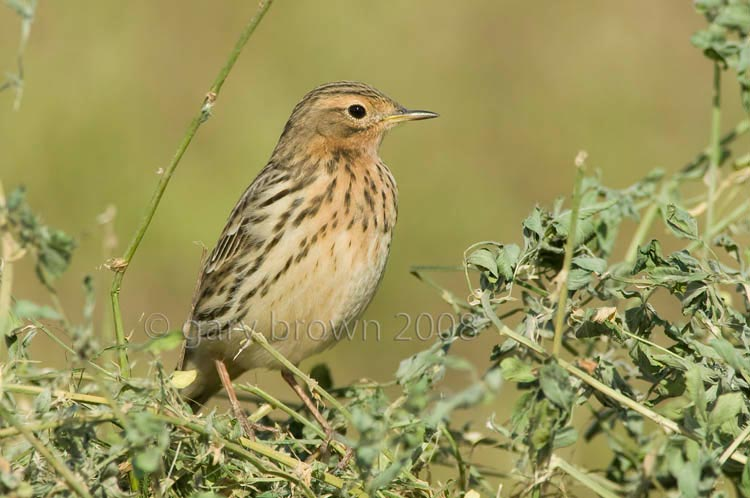 Red-throated Pipit Anthus cervinus on a green bush
