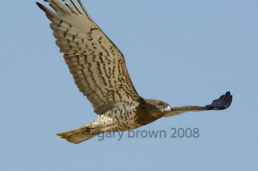 Short-toed Snake Eagle Circaetus gallicus in flight