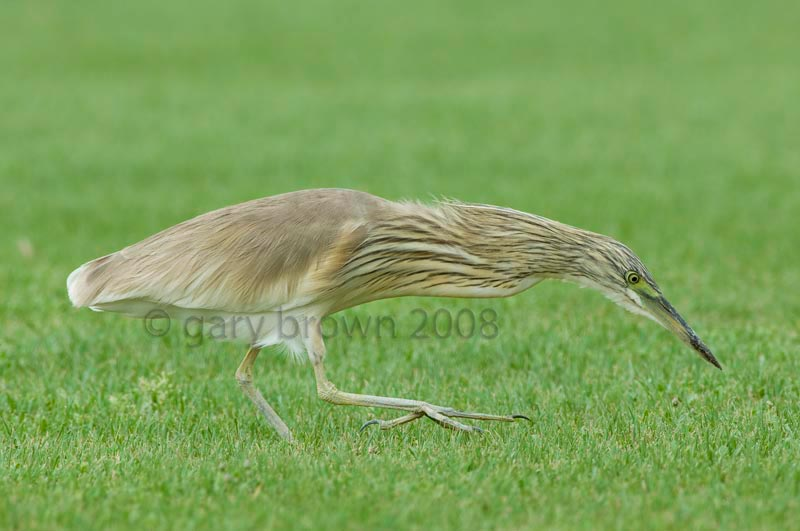 Squacco Heron Ardeola ralloides feeding on ground