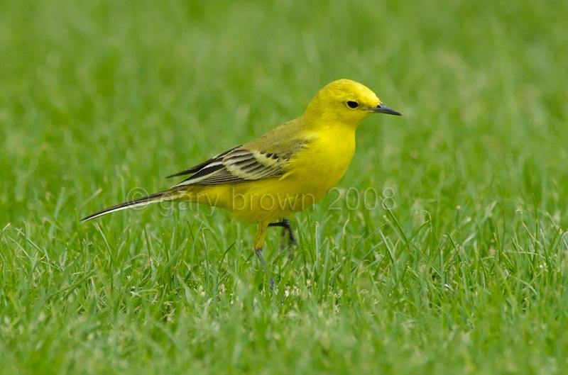 Yellow-headed Wagtail Motacilla (flava) lutea on greeny grass