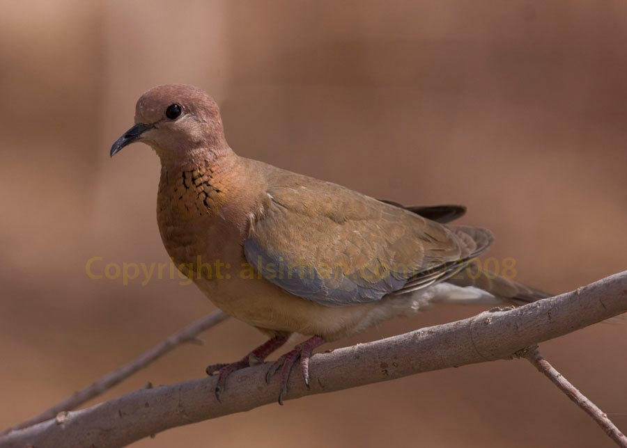 Laughing Dove Spilopelia senegalensis on a branch