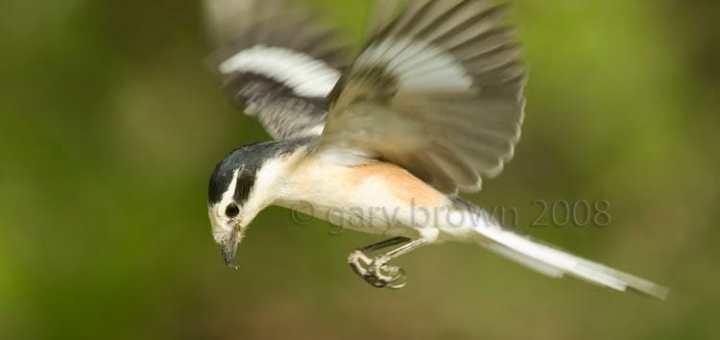 Masked Shrike Lanius nubicus hovering with green background
