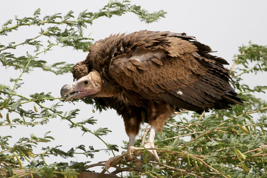 Lappet-faced Vulture Torgos trachielotos on a tree