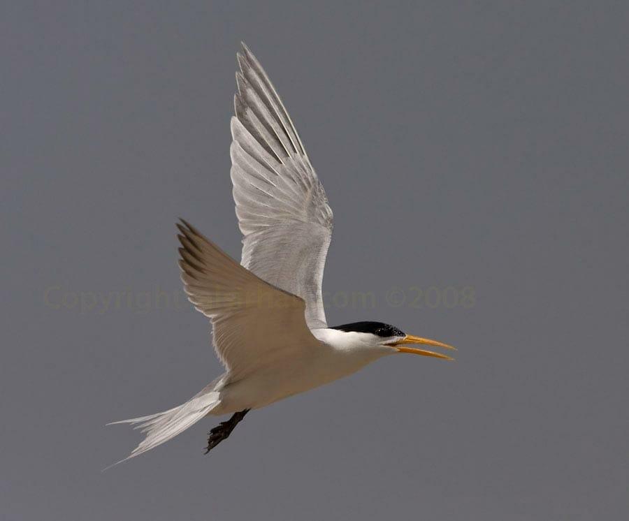 Lesser Crested Tern Thalasseus bengalensis in flight