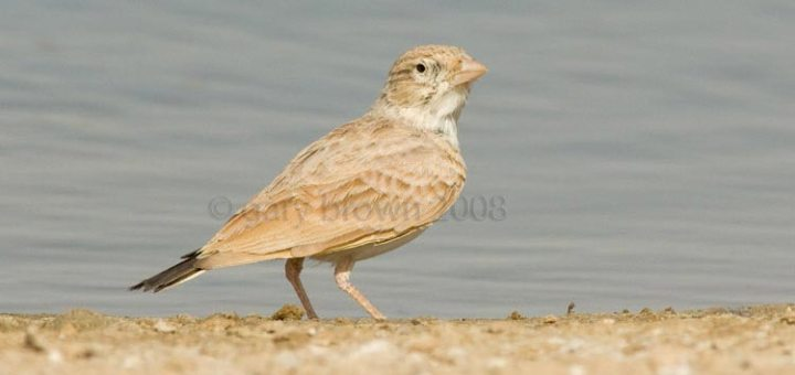 Dunn's Lark close to a water pool
