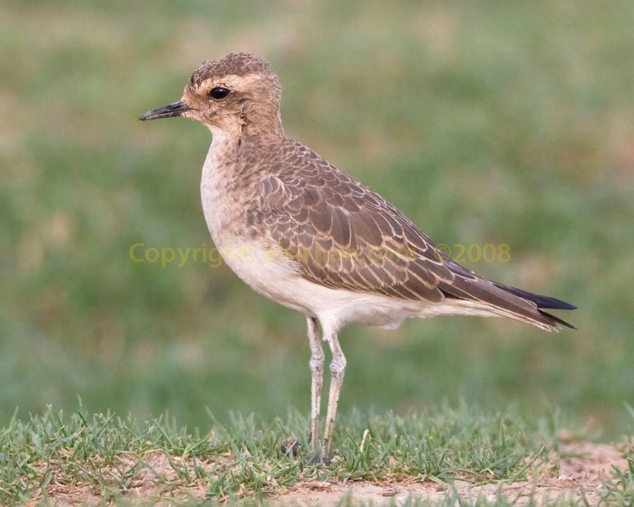 Juvenile Caspian Plover with green background