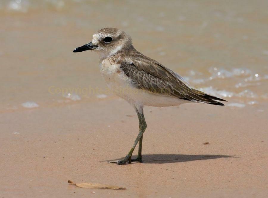 Greater Sand Plover Anarhynchus leschenaultii