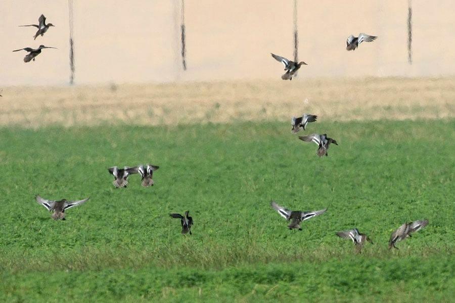 Garganey Anas querquedula landing on a gren field