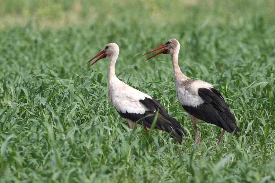 Western White Stork in a green field