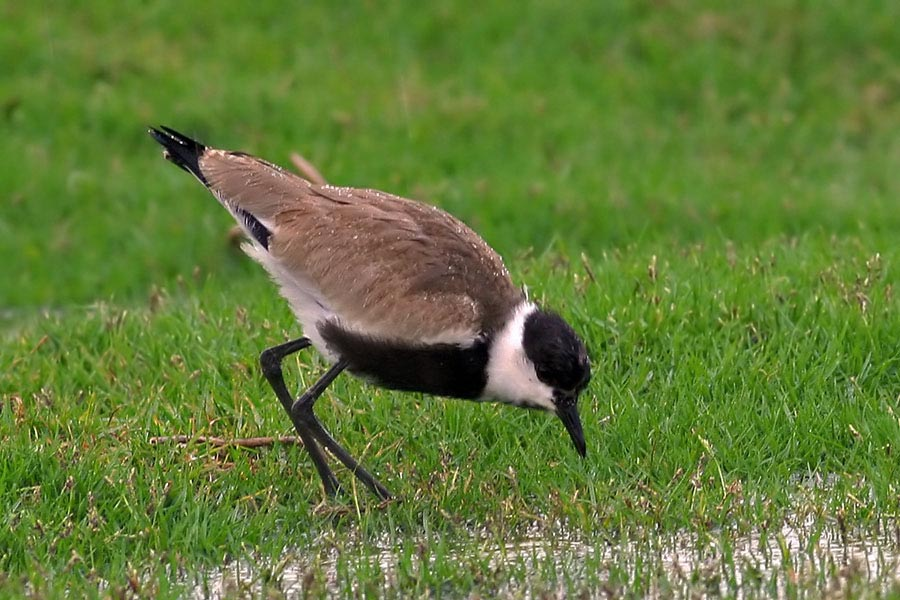 Spur-winged Lapwing feeding on grass
