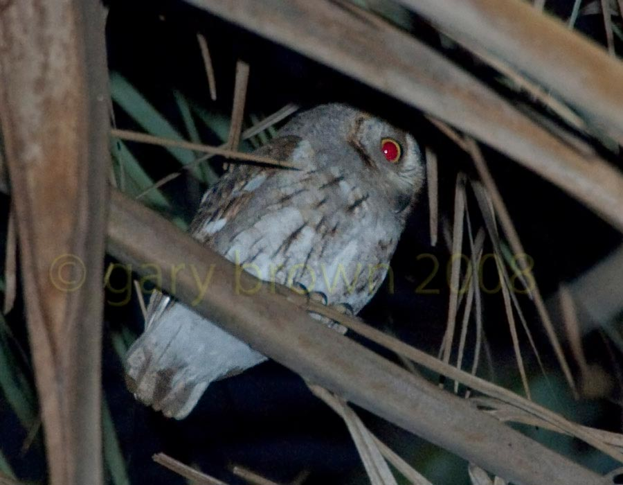 Socotra scops owl perching on a tree after sunset