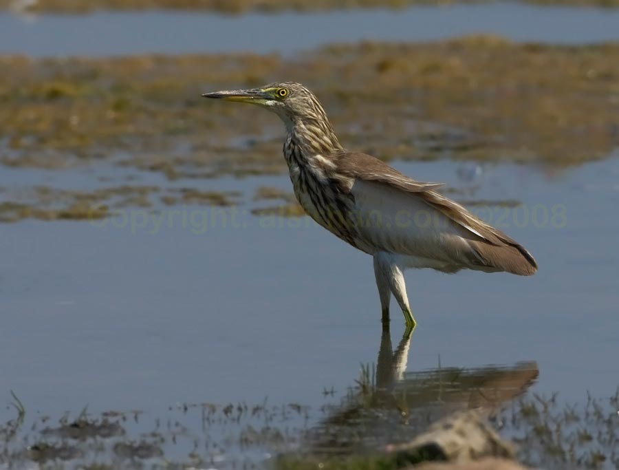 Indian Pond Heron standing close to water