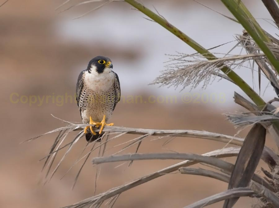 Peregrine Falcon perching on a branch