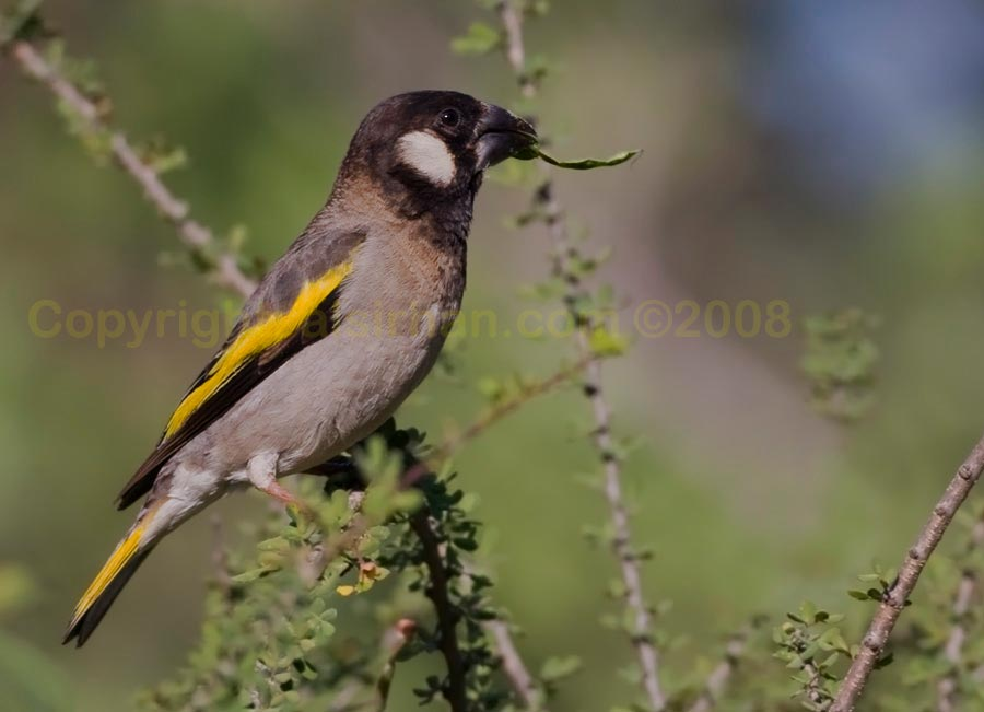 Socotra Golden-winged Grosbeak perching on a branch of a tree
