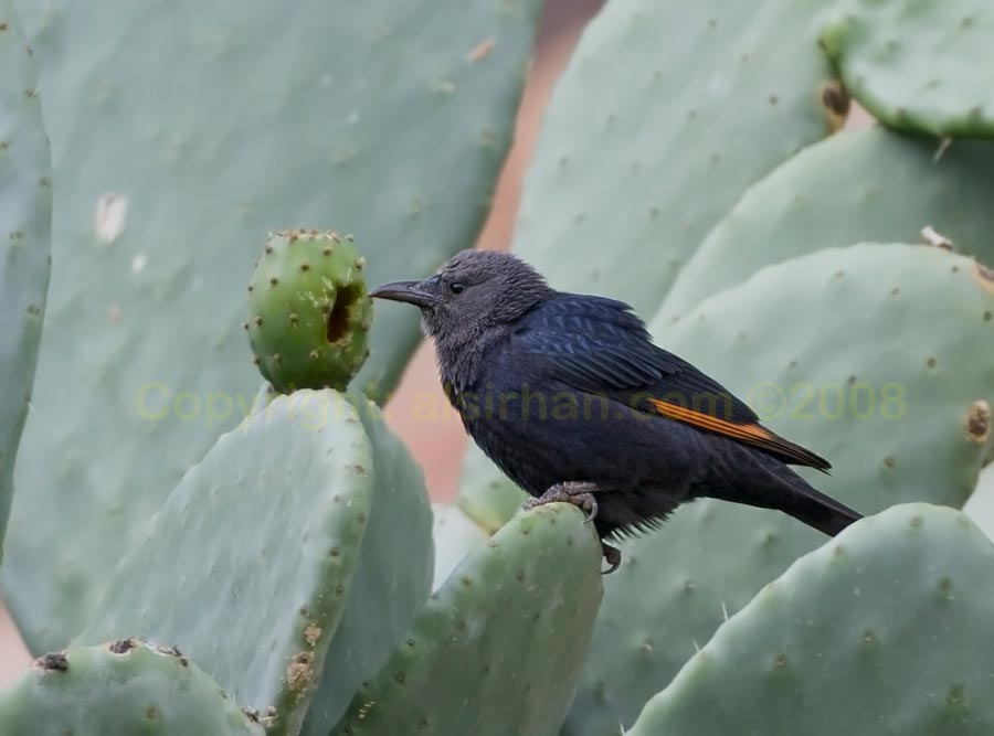 Tristram's Starling feeding on cactus