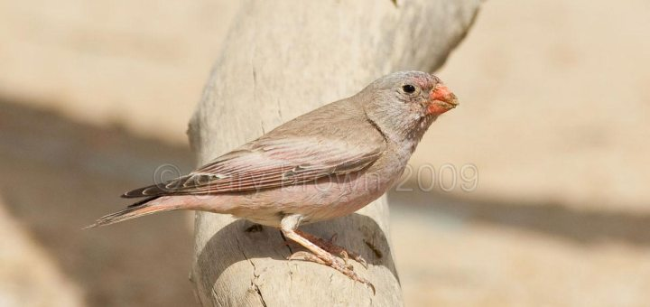 Trumpeter Finch perched on a tree trunk