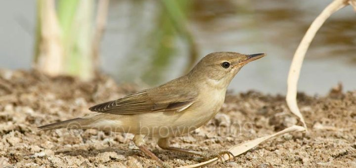 Caspian Reed Warbler standing on the ground