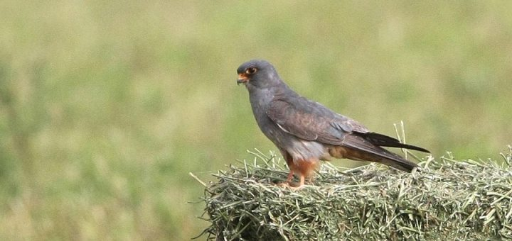 Red-footed Falcon perching on haystack
