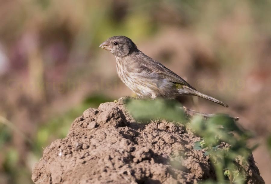Arabian Serin perched on the ground