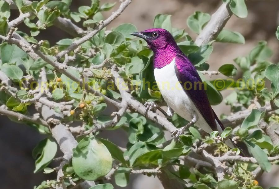 Violet-backed Starling perched on a branch