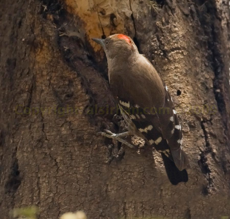 Arabian Woodpecker perched on a trunk