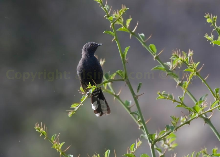 Black Scrub Robin perched on a branch