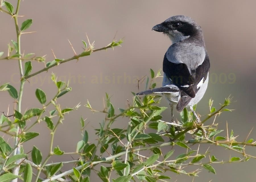 Arabian Grey Shrike perched on a tree
