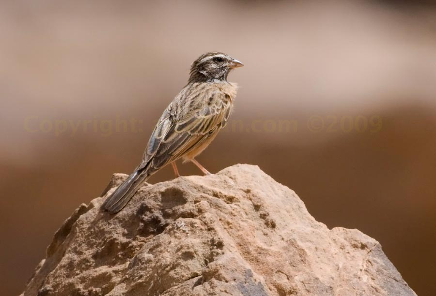 Cinnamon-breasted Bunting perched on a mound
