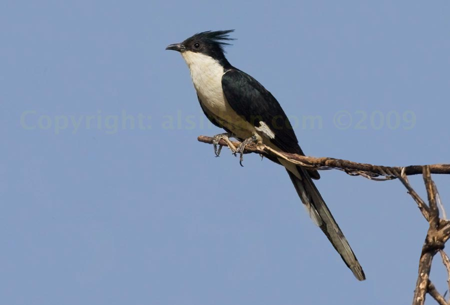 Pied Cuckoo perched on a branch