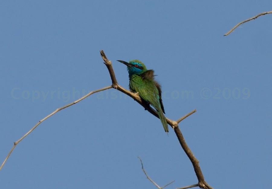 Green Bee-eater perched on a branch