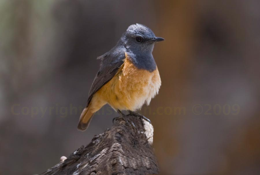 Little Rock Thrush perched on a log