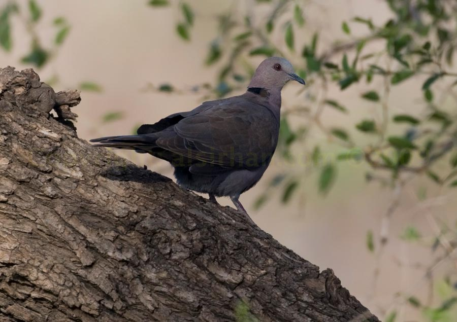 Red-eyed Dove perched on a trunk