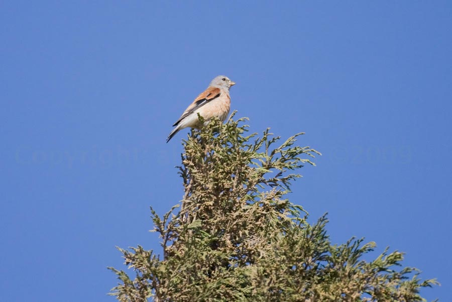 Yemen Linnet perched on a tree