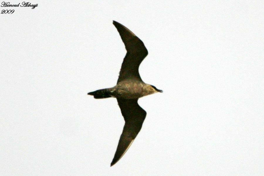 Pomarine Skua in flight