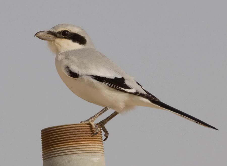 Great Grey Shrike perching on a pipe