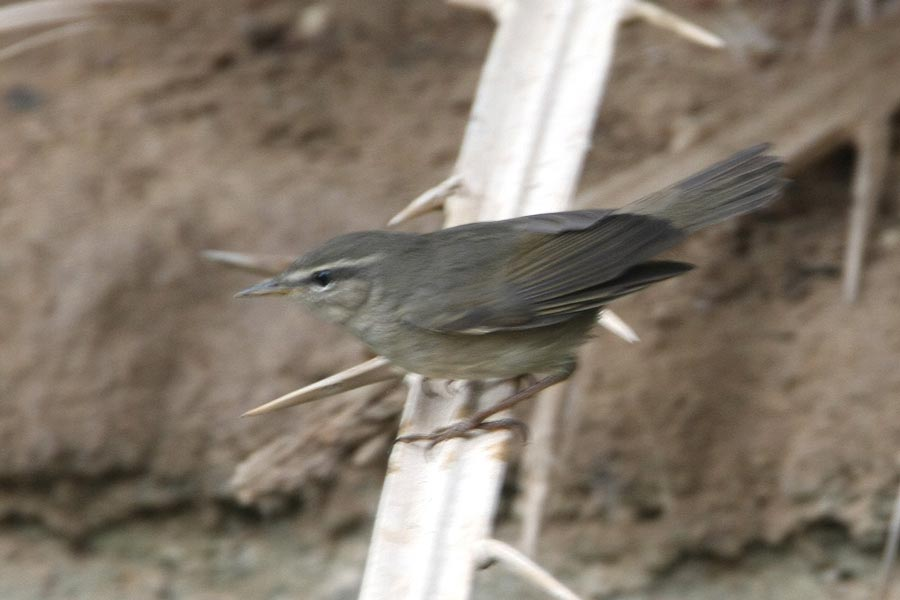 Dusky Warbler on a date palm leaf