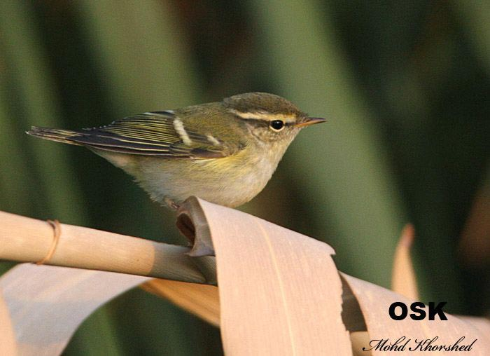 Yellow-browed Warbler perching on a branch