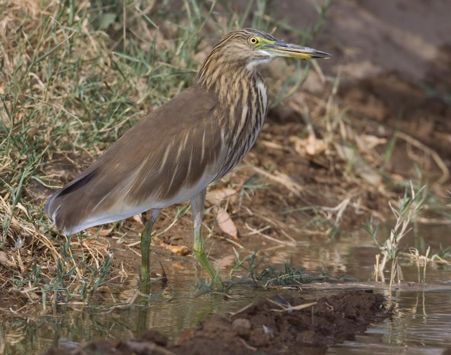 Indian Pond Heron on ground